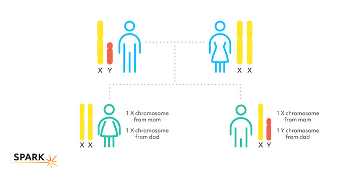 Biological females have two copies of the X chromosome and all its genes, one from their mother and one from their father. Image showing how biological males have one copy of the X chromosome and all its genes, from their mother, and one copy of the Y chromosome and its genes, from their father.